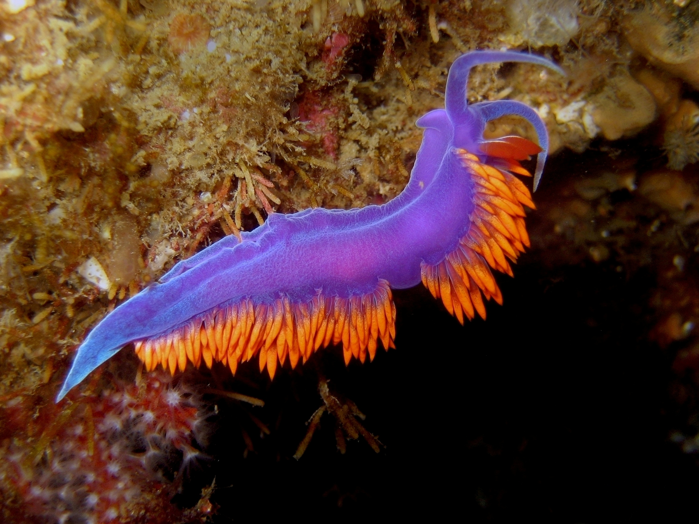 http://www.scubatube.org/m_pictures/Spanish%20Shawl%20Nudibranch.jpg